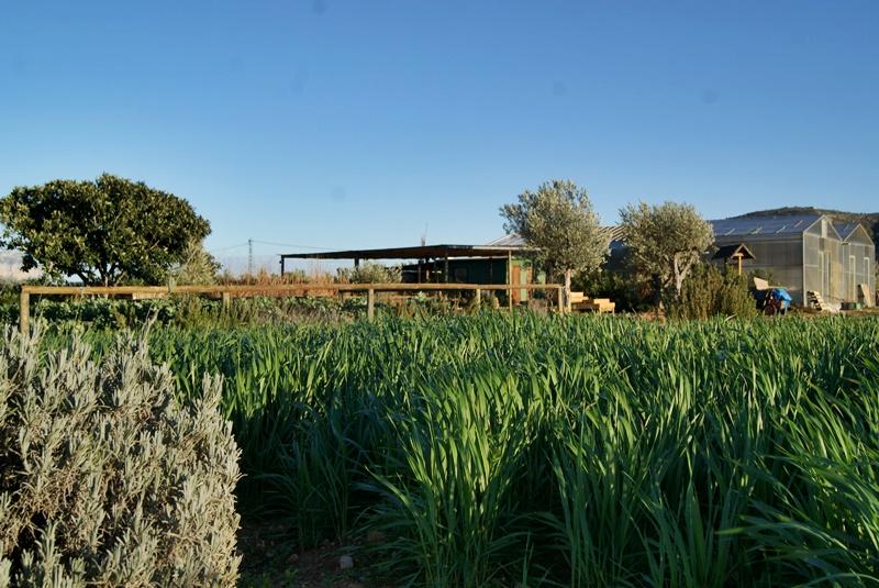 El plantel de trigo y, al fondo, el invernadero