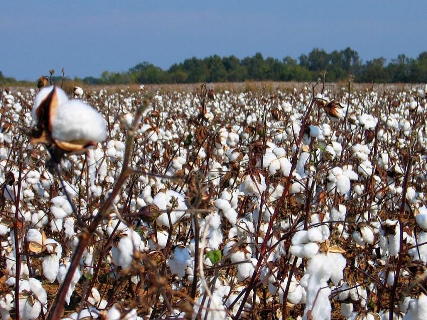 """Campo de algodón. Fotografía tomada de la página """"Yo no quiero trasngénicos"""""""