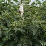 Una higuera frondosa en uno de los huertos de Benimámet. Un loro y otros animalitos de peluche espantan a los pájaros de sus sabrosos frutos