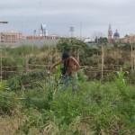 Pachi limpia de hierbas la  parcela que mantiene con dos amigos, el Chino y  otro cuyo  nombre no capté. La torre y la cúpula de la parroquia de San Miguel en Burjassot asoman al fondo.