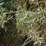 Buena cosecha de aceitunas. En este huerto hay tres hermosos olivos