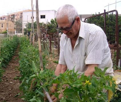Juan Agustín, entretenido con sus tomates.