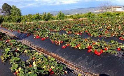 Un campo de fresas ecológicas en sazón, que cultiva Héctor.