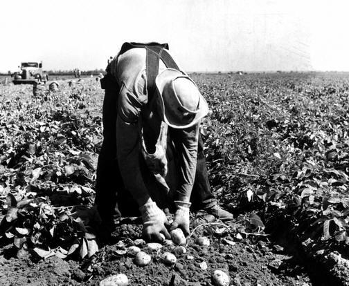Cosechando patatas en México. Foto de dorotea lange