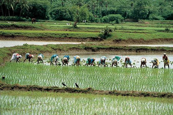 Fotografía tomada de macarronesleninistas.wordpress.com. Representa una plantación de arroz en Kerala
