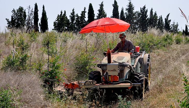Desbrozando un cultivo de granadas todavía en flor.
