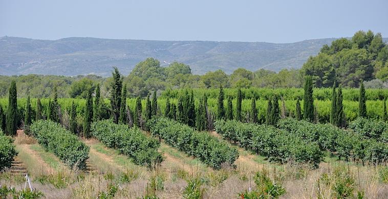 Los pinos y los cipreses abrazan el contorno de La Florentina, protegiéndola de la contaminación  quimica de las fincas aledañas.