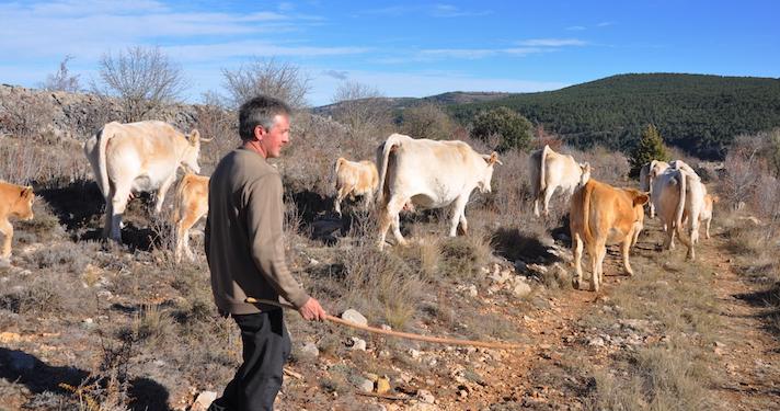 La fotografía de Fernando Robres y sus vacas está tomada a en la senda que lleva de Mosqueruela a la raya de Teruel con Castellón.
