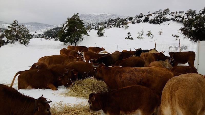 Las vacas de Fernando, en un invierno con nieve. Foto de F.Robres.