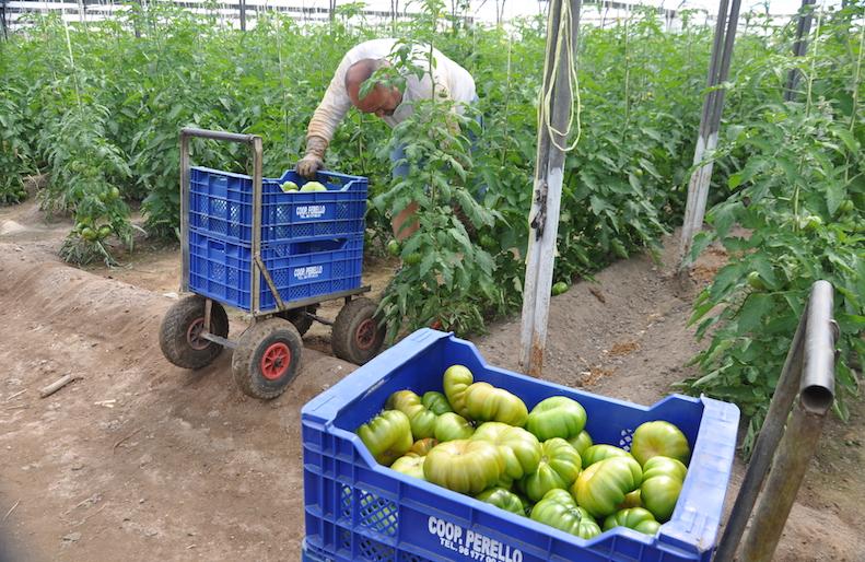 """Los tomates se cosechan """"pintones"""" y con estremo cuidado manual."""