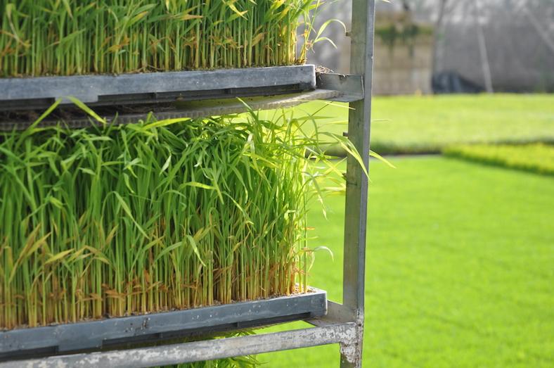 Las bandejas con los plantones de arroz crecidos, dispuestas para su traslado al campo.