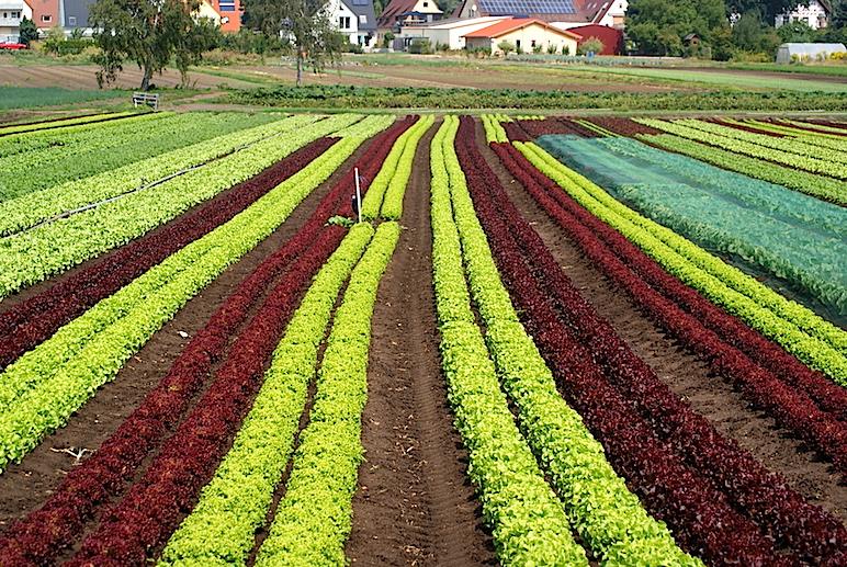 Una plantación de variedades de lechuga en un huerto en la periferia urbana de Nuremberg (Killianstrasse)