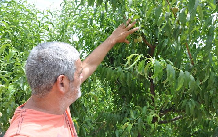 Buenas ciruelas. Pero la cosecha de los pocos cerezos plantados fue saqueada en una sola noche.
