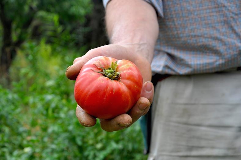este tomate apenas ha sido regado, aunque las temperaturas en verano suelen superar los cuarenta grados.