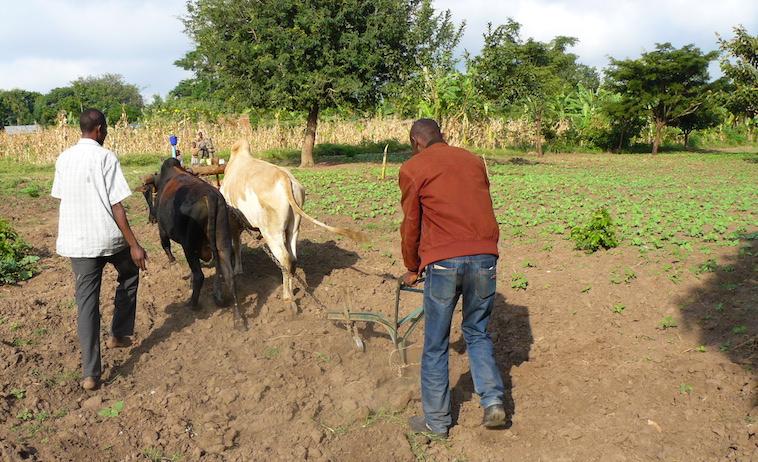 Un estampa excepcional en Uganda, hombres en el campo arando con animales.