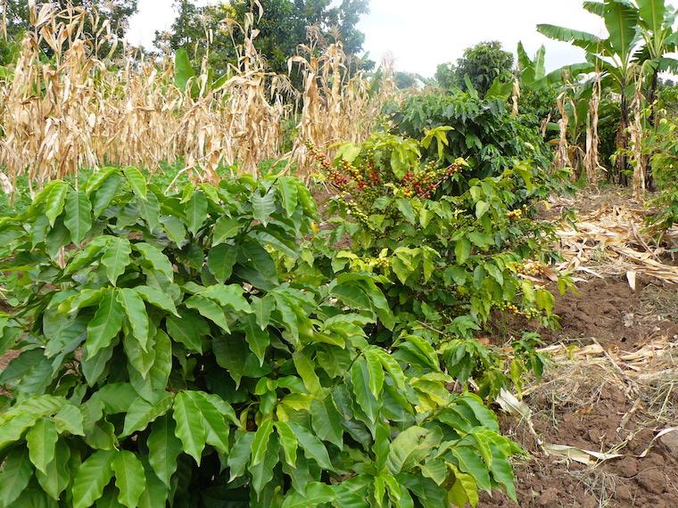 Un huerto típico de la agricultura a pequeña escala en Uganda.