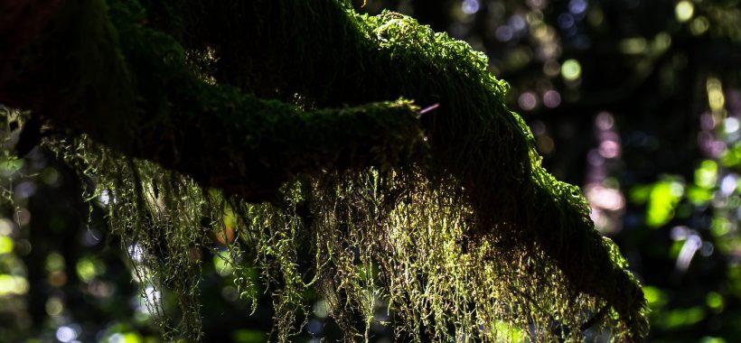 Musgo en el bosque de laurisilva de La Gomera
